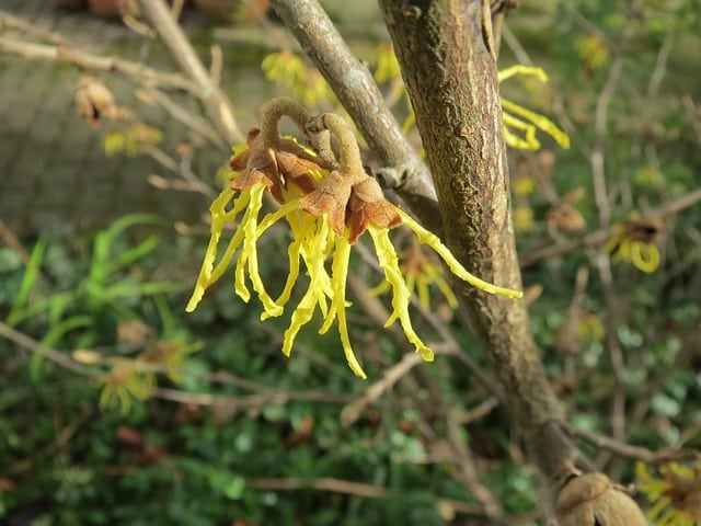 beneficios de la hamamelis