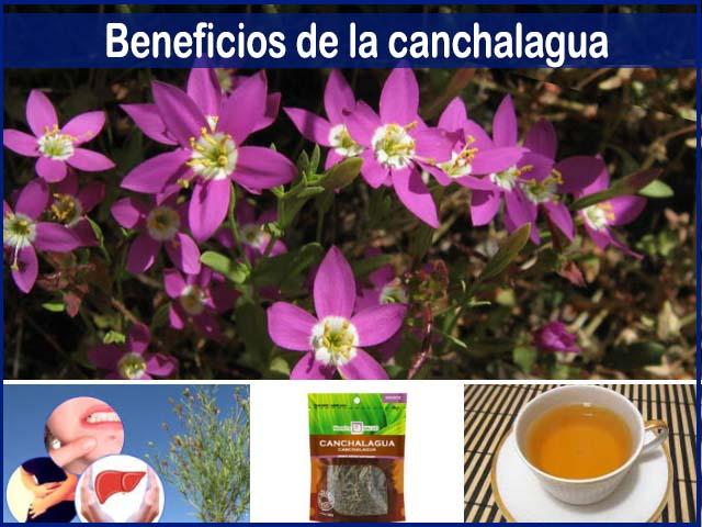 beneficios de la Canchalagua