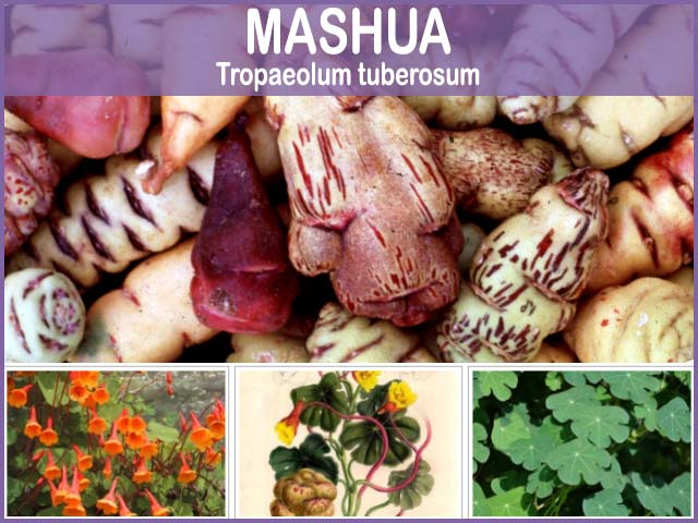 beneficios de la MASHUA o Cubio
