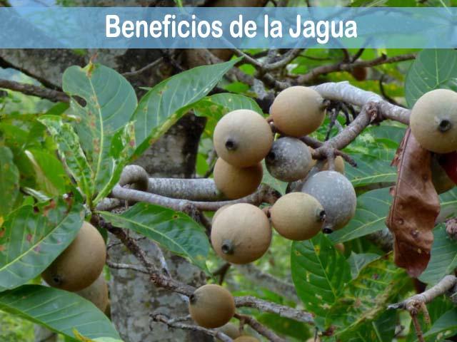 beneficios de la jagua