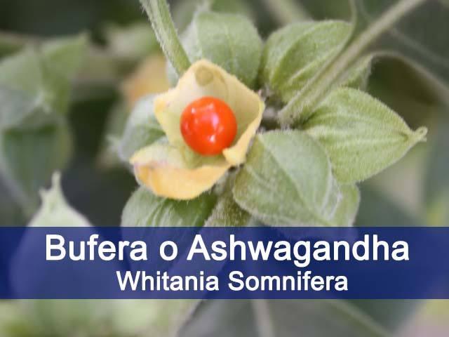 beneficios de la ashwagandha o bufera