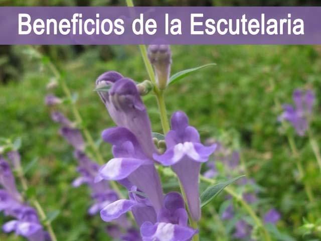 propiedades y Beneficios de la Escutelaria