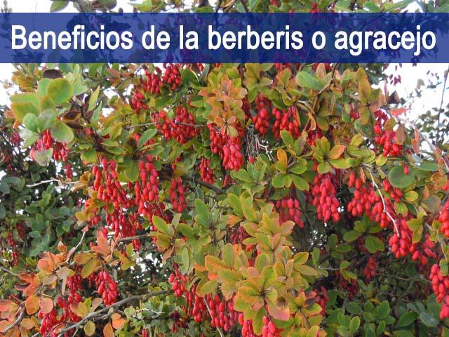 propiedades y beneficios de la berberis o agracejo