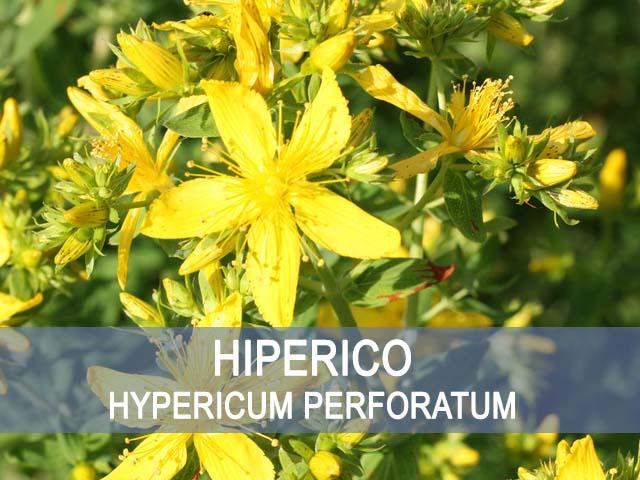 beneficios y propiedades del hiperico o hierba de San juan
