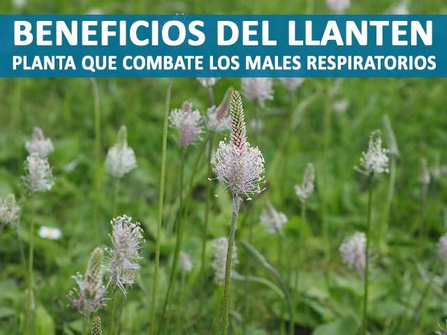 LLanten: Beneficios y propiedades de esta planta para la inmunidad