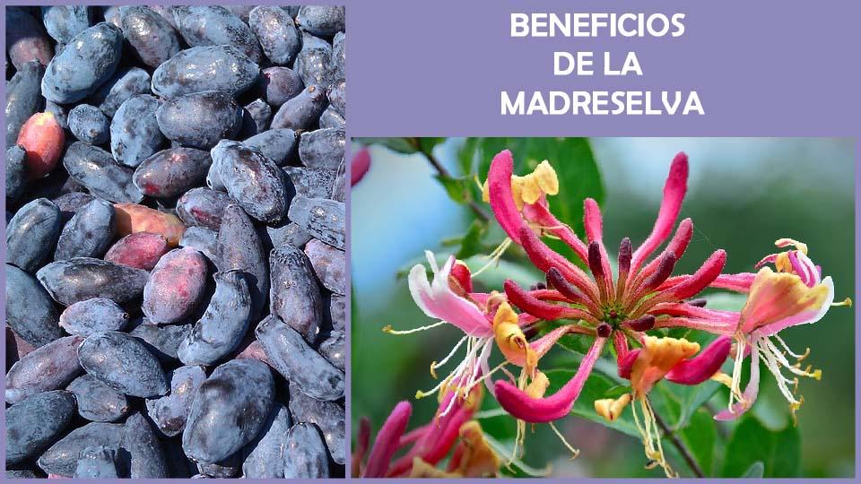 beneficios de la madreselva y propiedades medicinales