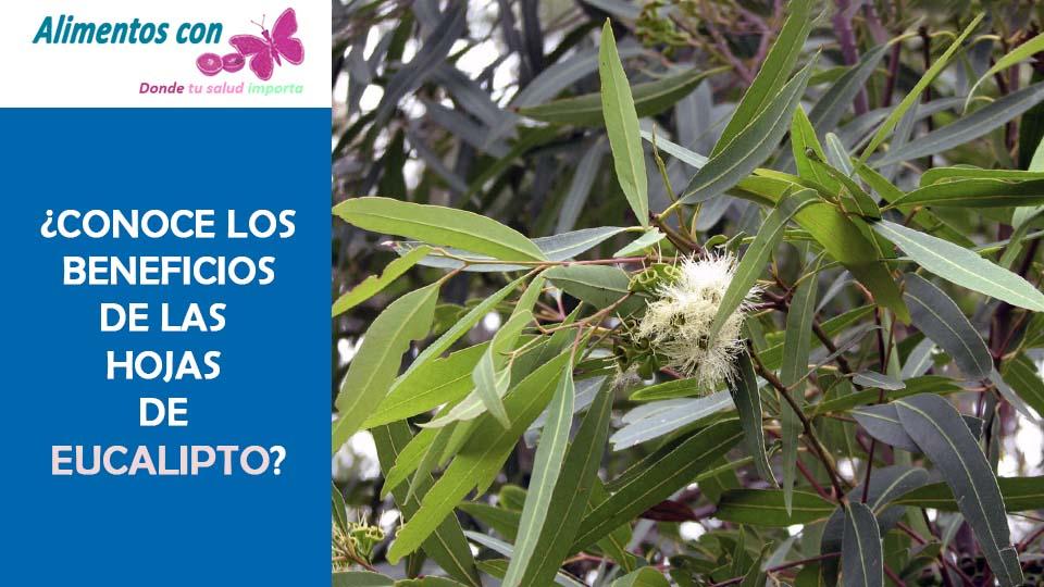 beneficios de las hojas de eucalipto